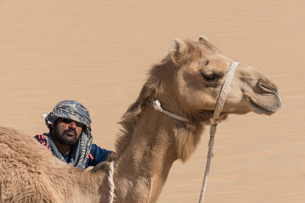 pictures by John C. Smith: one of the camels of the second expedition in Rub al-Khali